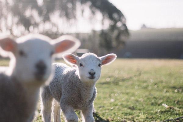 Ez egy kép egy bárányról, vegán életmódról.