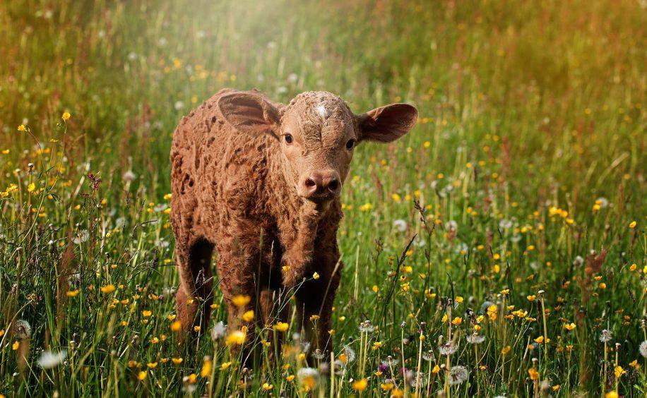 calf brown reddish small 916x564 - Blog