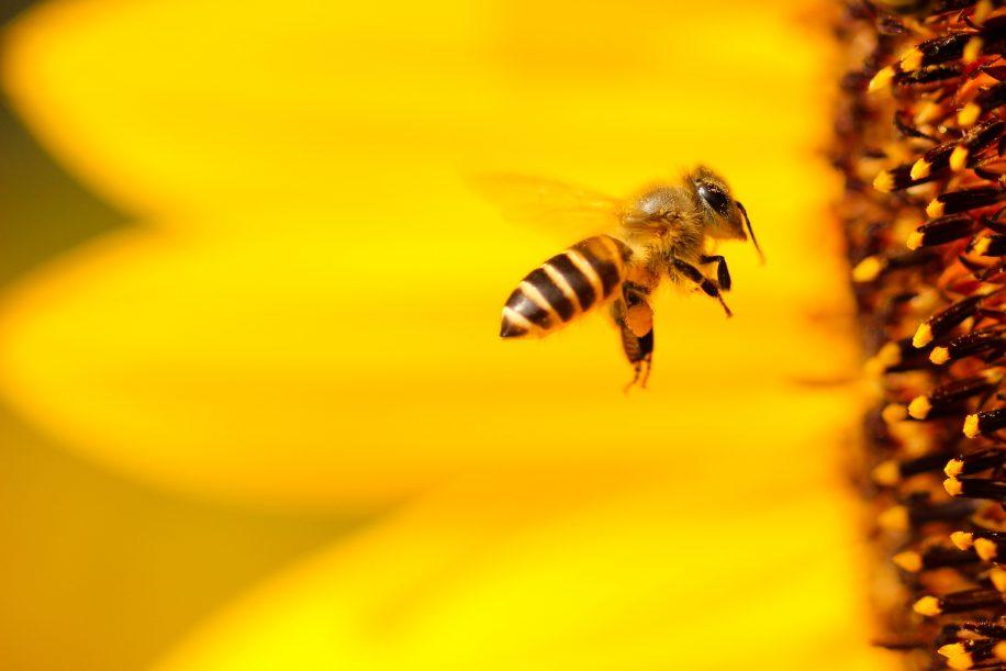 A képen méh, virág látható.