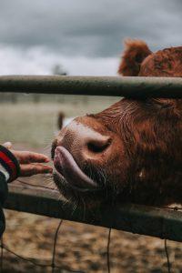 A képen egy tehán látható. Vegán éltemód.